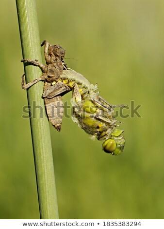 Adulto libélula verde planta folha grama Foto stock © pzaxe