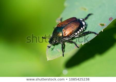 japoński · beetle · roślin · liści · rodziny · plemię - zdjęcia stock © brm1949
