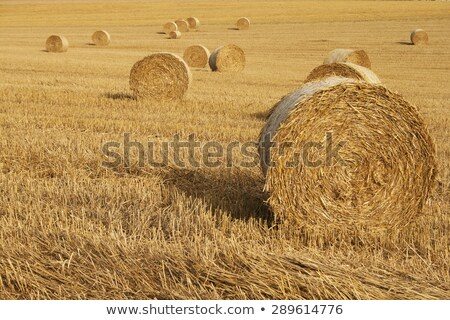 gold grains field in summer time stock photo © artush
