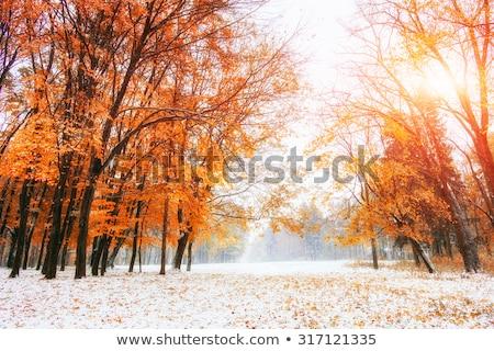 Carvalho fresco neve coberto cair folhas Foto stock © gabes1976