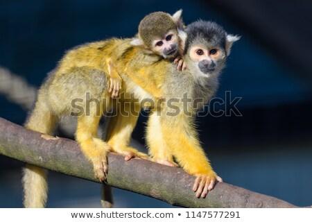 Fiatal emberszabású majom hát anya fogság holland Stock fotó © michaklootwijk