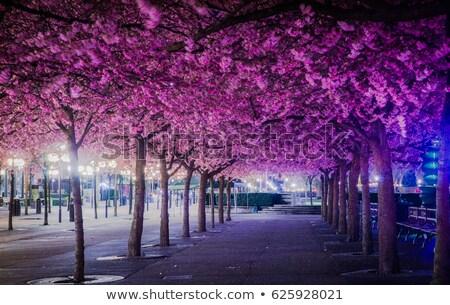 Tree With Purple Blossoms Stock photo © rhamm
