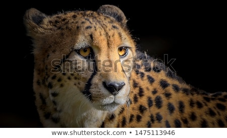 cheetah portrait stock photo © ajn