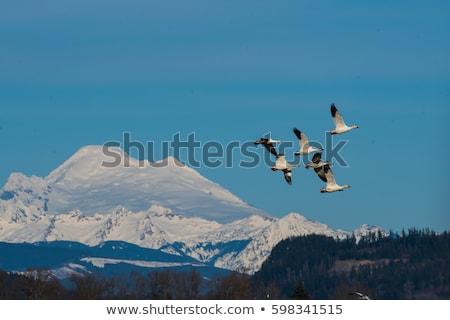 Hó libák hegyek völgy Washington etetés Stock fotó © billperry