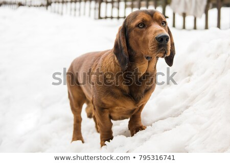 Portret jonge alpine hond gras tuin Stockfoto © CaptureLight