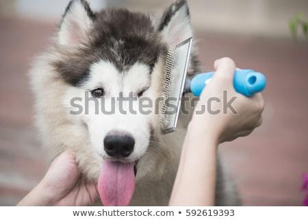 dog brush stock photo © willeecole