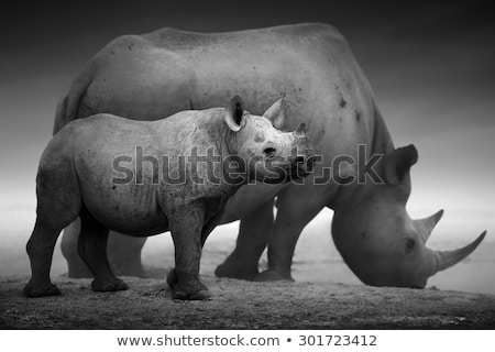 Black Rhino standing in water Stock photo © ottoduplessis
