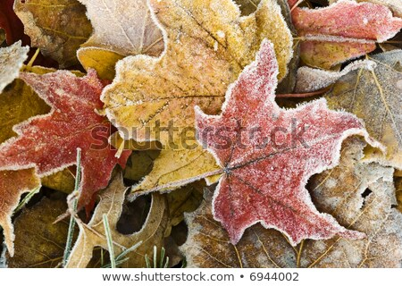 autumn leaves with dusting of frost. Stock photo © fanfo