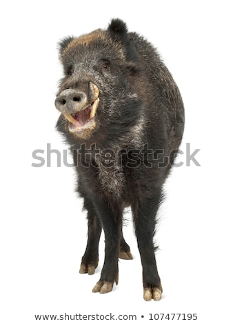 isolated wild hog looking at camera Stock photo © taviphoto