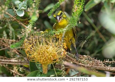 brimstone canary serinus sulphuratus stock photo © dirkr