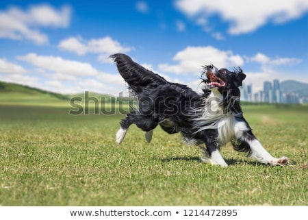 border collie in agility Stock photo © cynoclub