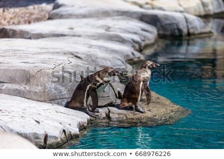 ペンギン 準備 ダイビング 海 島 鳥 ストックフォト © wildnerdpix