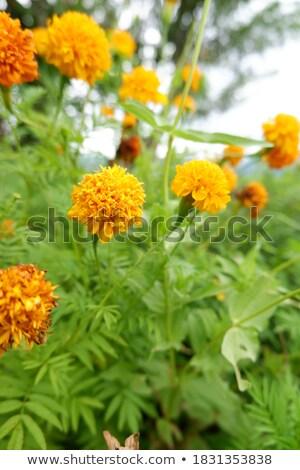 żółty kwiat przydrożny żwir wyspa niebo Zdjęcia stock © olandsfokus