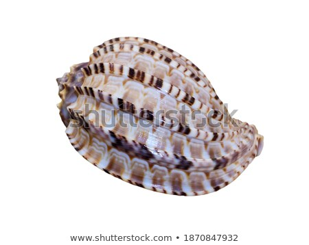 shell of articulate harp or harpa articularis stock photo © yongkiet