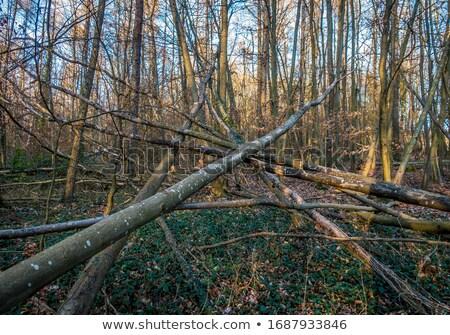 podziale · drzewo · lasu · duży · burzy · trawy - zdjęcia stock © olandsfokus