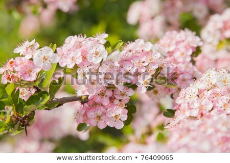 flowers pink hawthorn tree pink hawthorn stock photo © artush