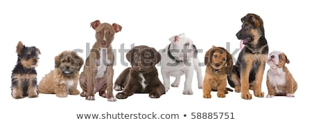 yorkshire terrier in white background looking left stock photo © vauvau