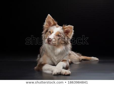 смешанный черный собака темно студию Сток-фото © vauvau