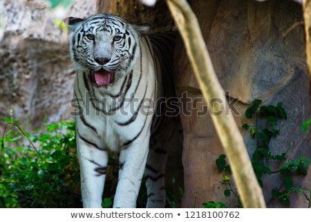 Tiger lying on a rock, resting. Tiger close up in the forest. Stock photo © mcherevan