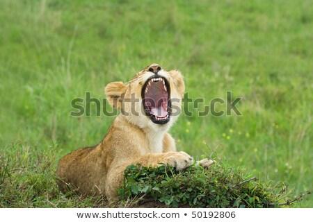 Lion cub yawning in the grass. Stock photo © simoneeman