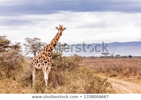 giraffe looking at the lake stock photo © simoneeman