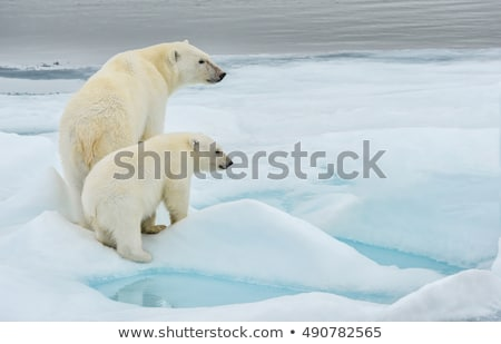 Mother polar bear and cub on ice Stock photo © bluering