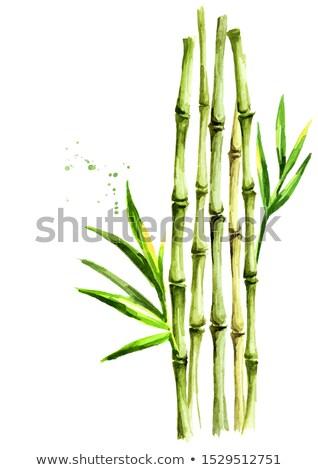 Bambu branco aquarela ilustração isolado pintar Foto stock © ConceptCafe