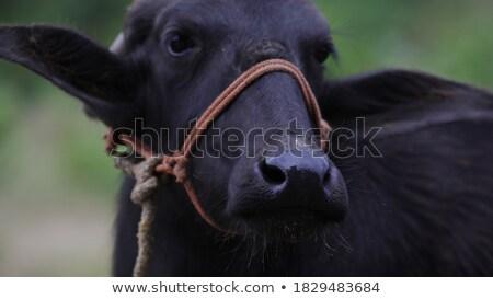 indian · vee · wekelijks · Tribal · markt · boerderij - stockfoto © taviphoto