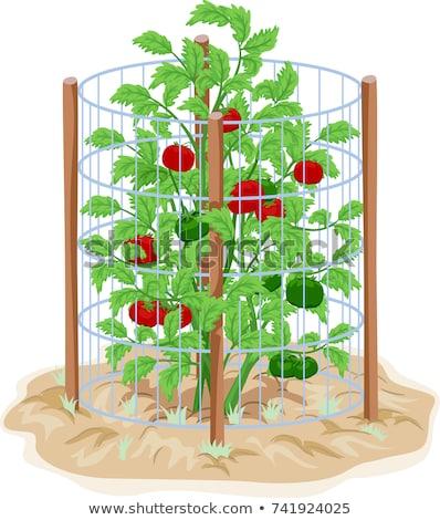 томатный проволоки клетке поддержки иллюстрация растений Сток-фото © lenm