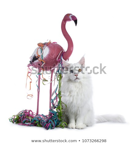 sweet solid odd eyed white maine coon cat boy sitting with pink flamingo stock photo © catchyimages