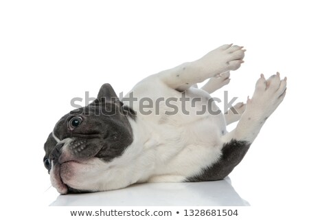 Francés bulldog abajo juguetón blanco perro Foto stock © feedough
