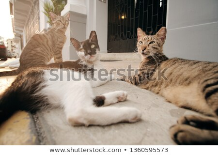 group of stray cats relaxing on street sidewalk at sunset stock photo © diego_cervo