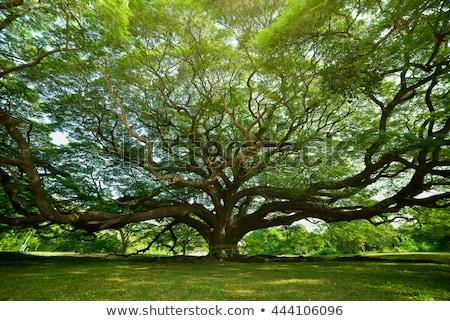 Gigante árvore ilustração branco madeira folha Foto stock © colematt