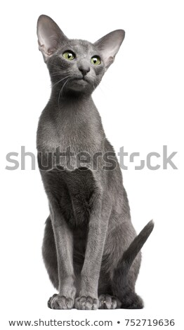 cute oriental shorthair kitten on white stock photo © catchyimages