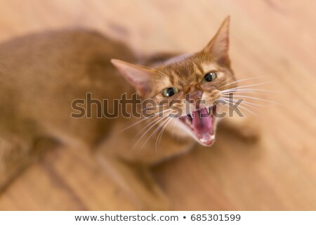 Angry yellow cat Stock photo © Lopolo