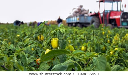 harvesting people on field tractor with vegetables stock photo © robuart