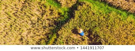 Fotó rizs aratás helyi gazdák nő Stock fotó © galitskaya
