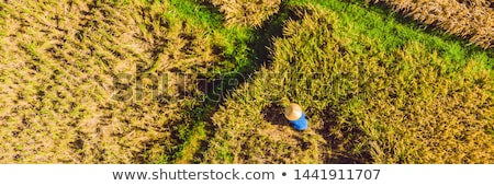 Photo from drone, rice harvesting by local farmers Stock photo © galitskaya