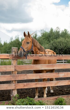 Young healthy brown purebred mare standing behind wooden fence Stock photo © pressmaster