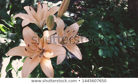Beautiful lily flower Stock photo © Anna_Om