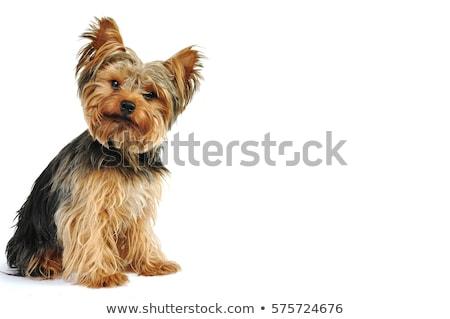 Cute yorkshire terriër vergadering zwarte Stockfoto © vauvau