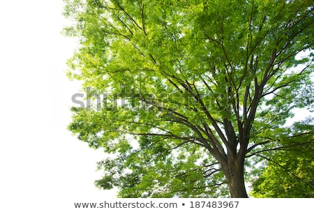 bonsai zelkova tree stock photo © antonio-s