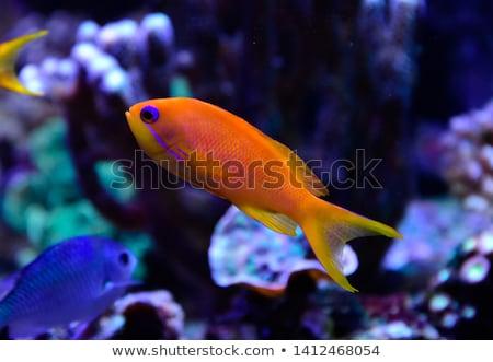 anthias fish Stock photo © cynoclub