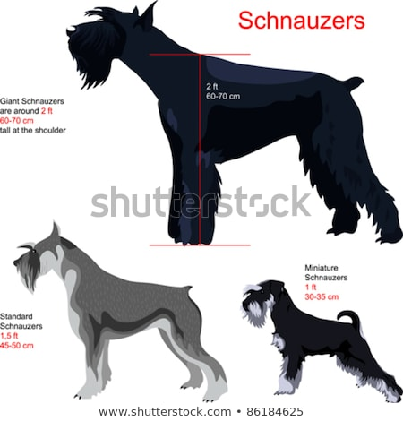 Miniature Schnauzer dog haircut Stock photo © raywoo