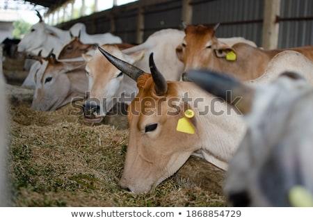 牛 見える 市 後ろ 都市 ストックフォト © tepic