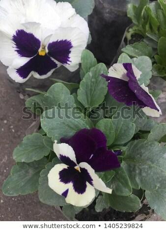 14 tavasz zöld növény lila virág Stock fotó © LianeM