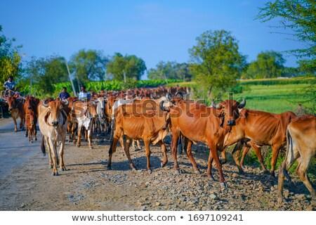 Indian vee wekelijks Tribal markt boerderij Stockfoto © ajlber