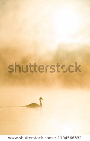hattyú · tó · család · tavasz · természet · szépség - stock fotó © morrbyte