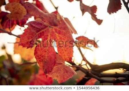 videira · folhas · outono · fora · natureza - foto stock © justinb