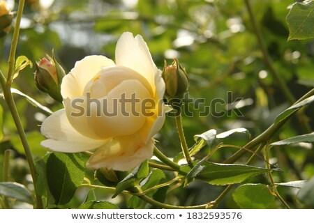 rosebud surrounded by flowers stock photo © dolgachov